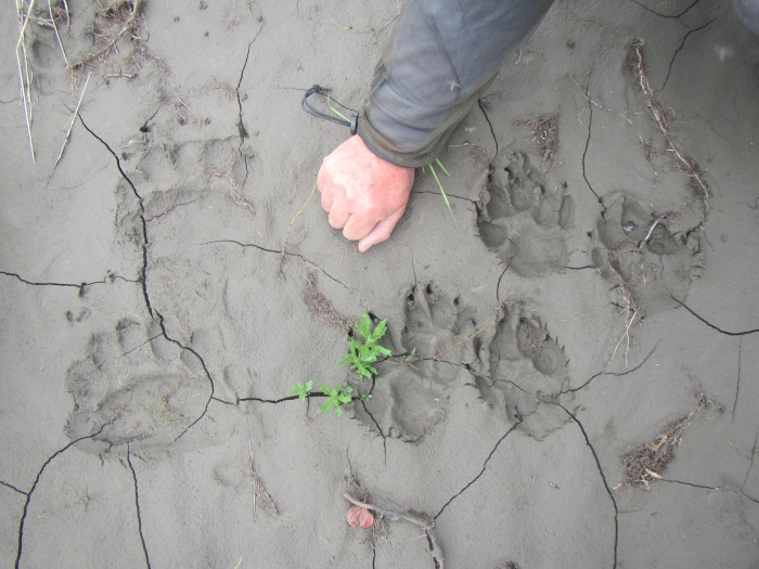 Bear and wolf prints by the river